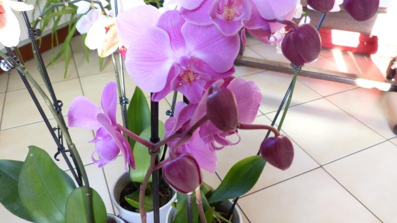 nouveau phalaenopsis P1050317