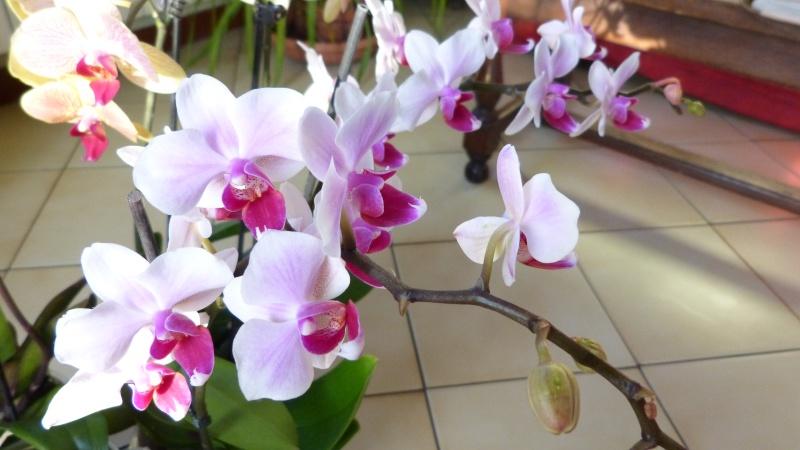 nouveau phalaenopsis P1050319