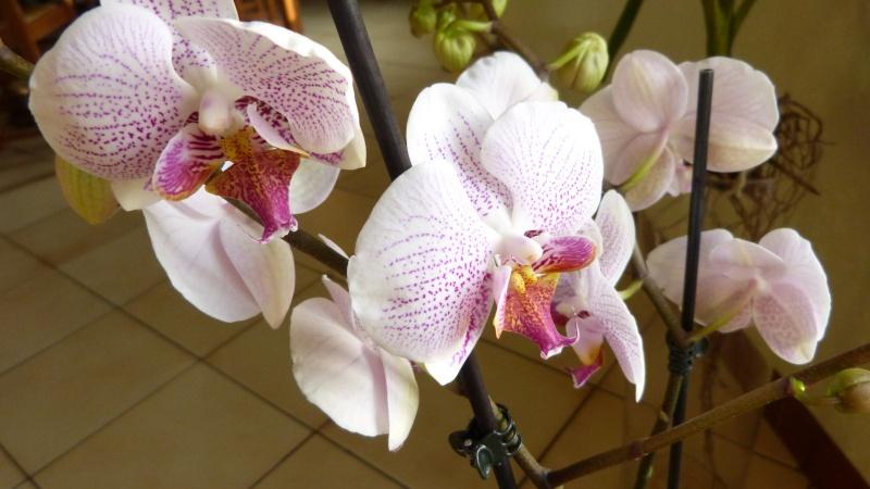 nouveau phalaenopsis P1050320