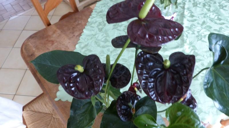 anthurium black wite P1050324