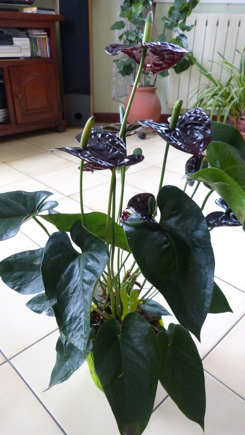 anthurium black wite P1050410