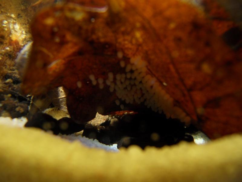 Aquarium biotope rio négro 60 litres, Vidéo nage libre p4. - Page 2 Sdc17511