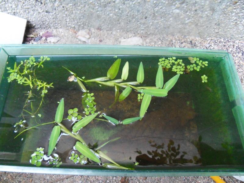 Poubellarium caridina japonica F0 (sauvages) Sdc17710