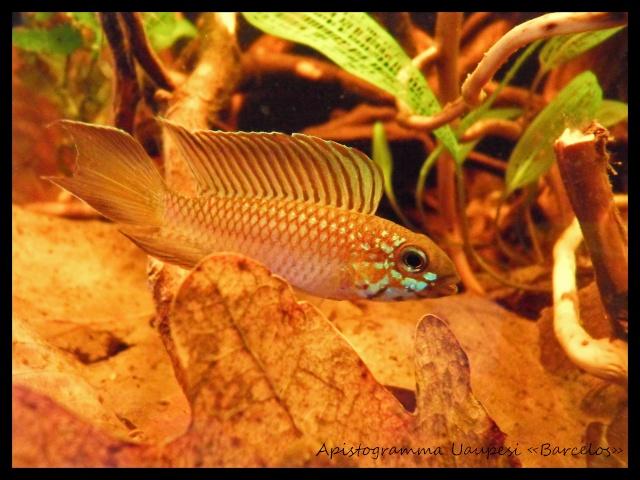 Aquarium biotope rio négro 60 litres, Vidéo nage libre p4. - Page 2 Sdc17815