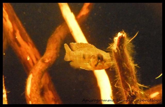 Aquarium biotope rio négro 60 litres, Vidéo nage libre p4. - Page 2 Sdc17816