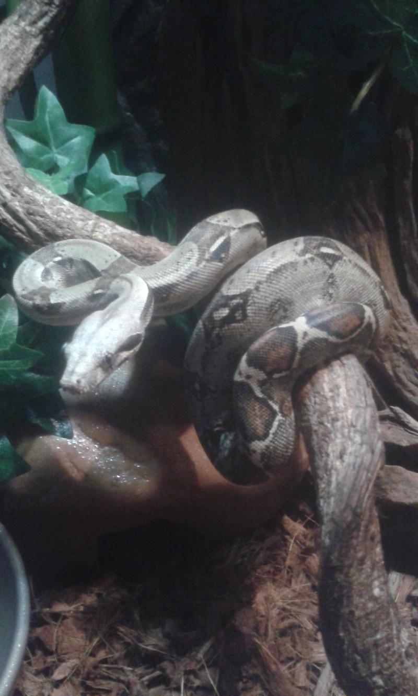 Mes colocataires....bci colombie et pantherophis bairdi 20150210
