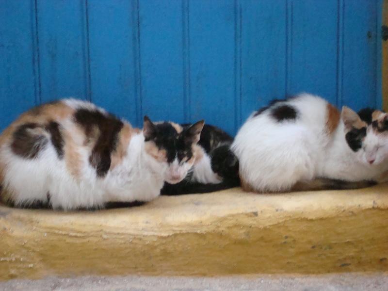 Les Chats d'Essouira Dsc05716