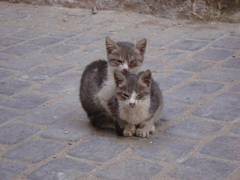 Les Chats d'Essouira Essaou37