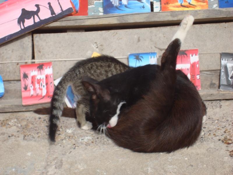 Les Chats d'Essouira Essaou39