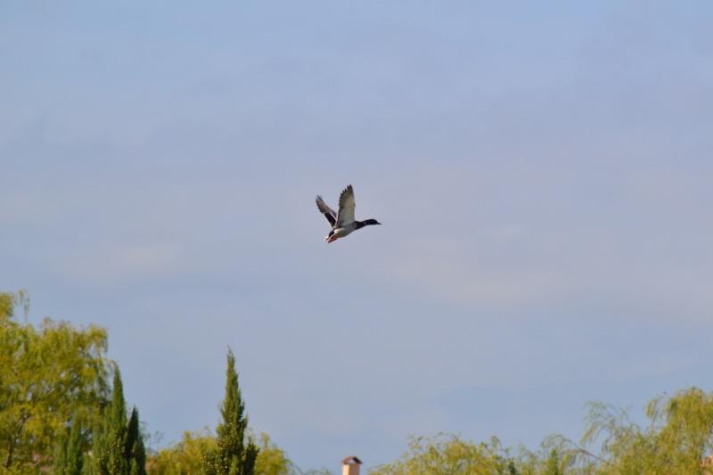 Les Canards 6_octo12