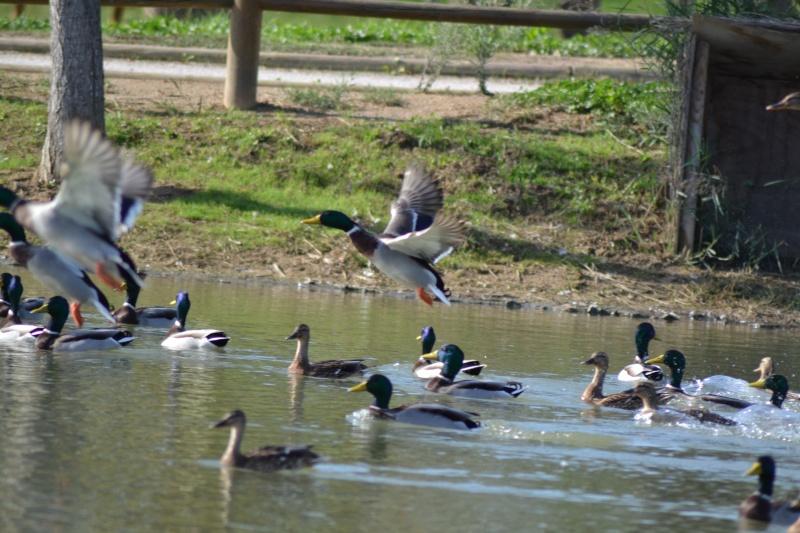 Les Canards 6_octo17