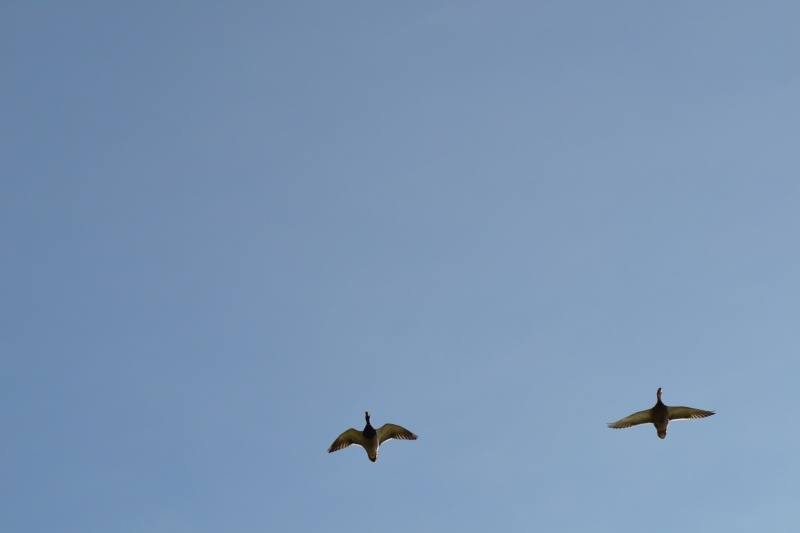 Les Canards 6_octo18