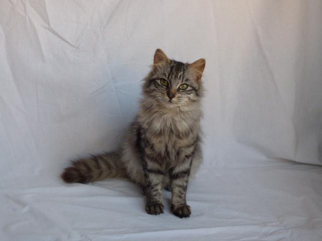 Judie femelle type europénne tigrée grise angora, née le 01/09/14 P1000614