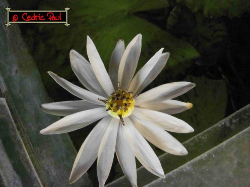 nymphaea lotus linné Photo_37