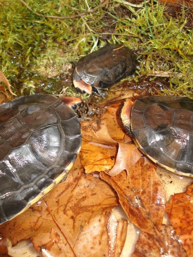 Platemys platycephala (nouvelle génération) 00911
