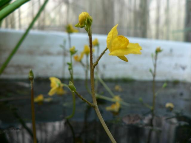 Utricularia vulgaris P1130614