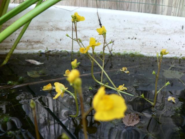 Utricularia vulgaris P1130615