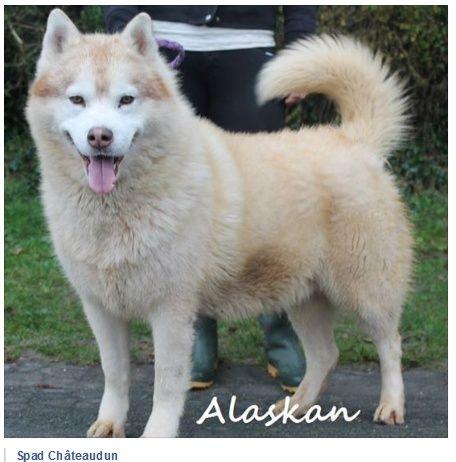 Alaskan, Sibérian Husky cuivré 28/10/2005 pas ok chat REFU28  6_taig10