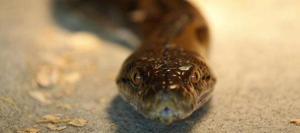 Un python tue deux enfants 25324310
