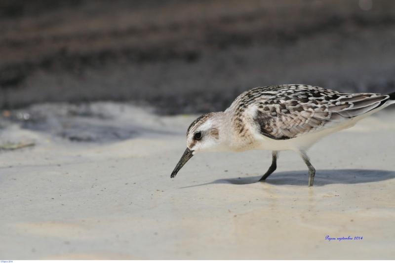 Seul sur le sable, les pieds dans l'eau...(Tanné de l'hiver) Papou_48