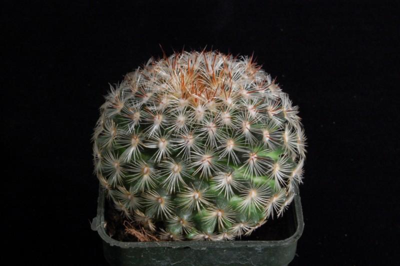 Mammillaria deherdtiana 2359-211