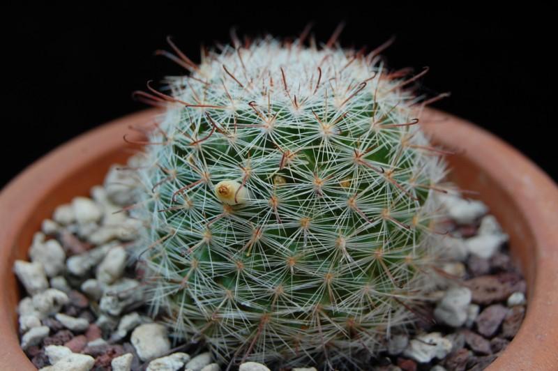 Mammillaria guillauminiana 3024-210