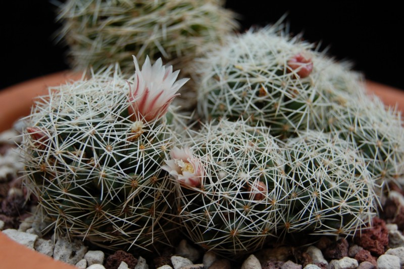Mammillaria decipiens Decipi10