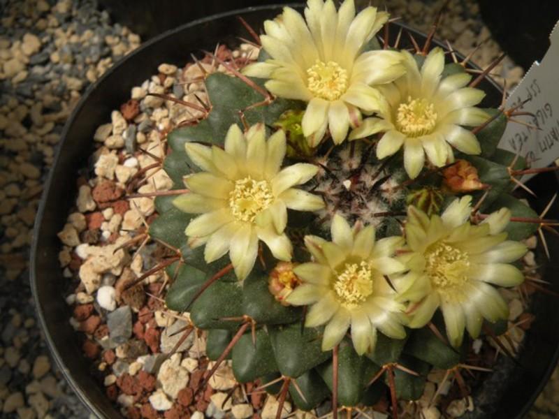 Mammillaria flavovirens Flavov10