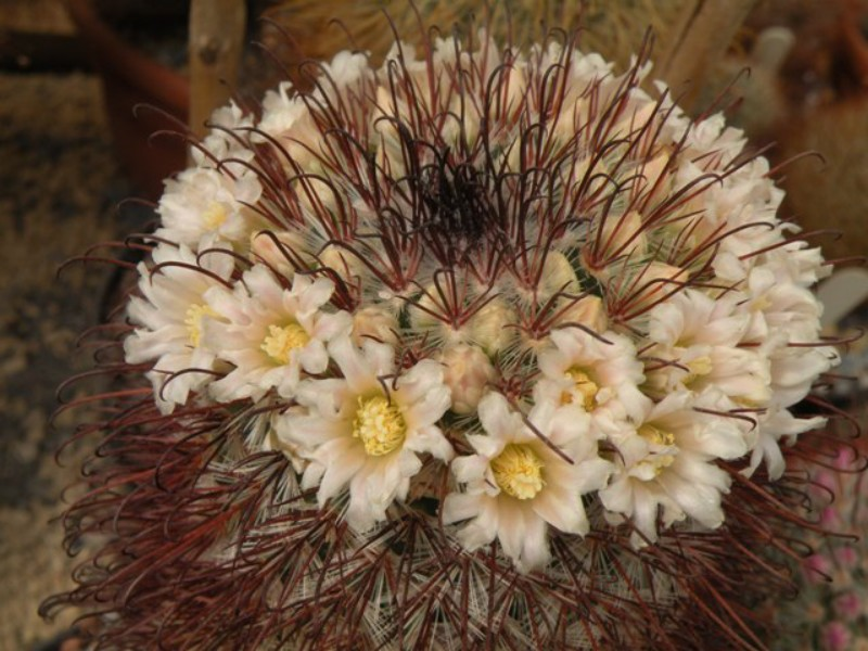 Mammillaria moelleriana Moelle11