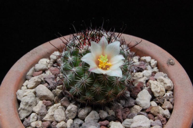 Mammillaria dioica Sb_12710