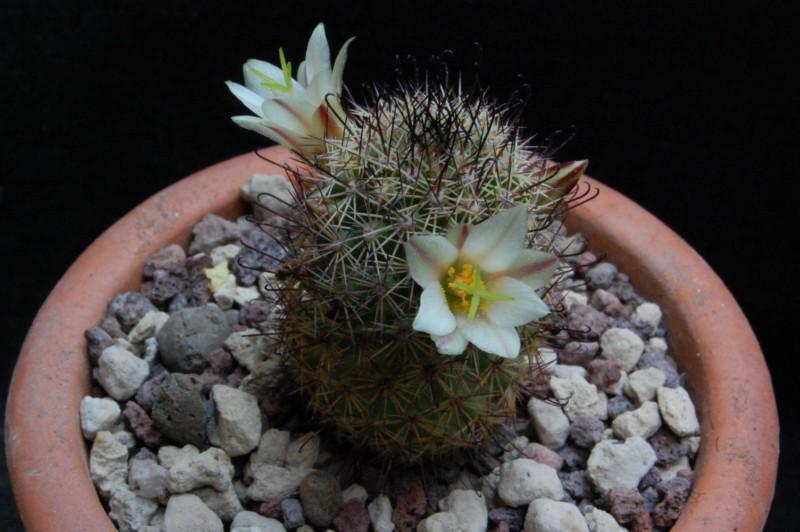 Mammillaria dioica Sb_16910