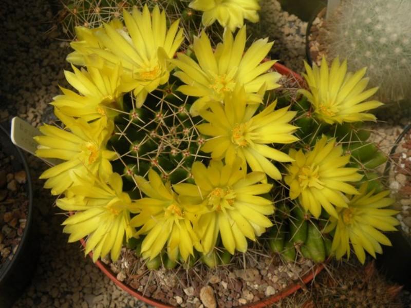 Mammillaria uberiformis Uberif10