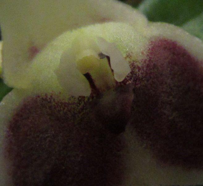 Acinopetala wendlandiana ( ex. Masdevallia wendlandiana ) Img_3015