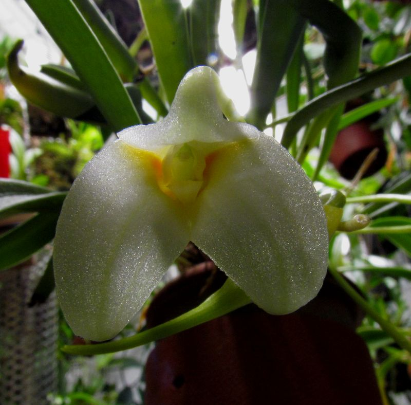 Masdevallia leucantha : nouvelles photos pour essais Img_3020