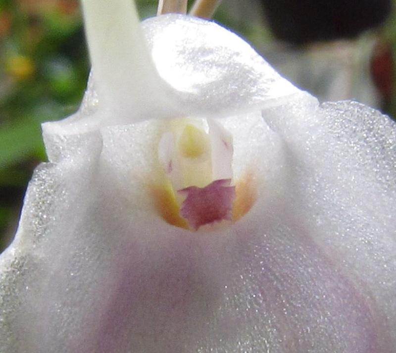 Alaticaulia infracta var. albina Img_3113