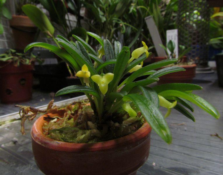 Triotosiphon bangii ( ex. Masdevallia bangii ) Img_3212