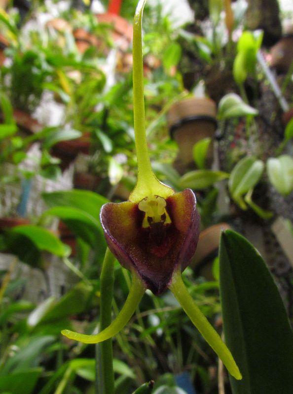Alaticaulia amplexa ( ex. Masdevallia amplexa ) Img_3227