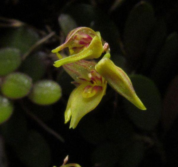Specklinia grobyi ( ex. Pleurothallis grobyi ) Img_3312