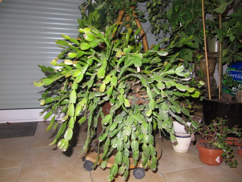 cactus de noel  - Page 5 02210