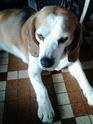 Paccio   beagle 9 ans   14917610