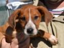Jolie Croisée Beagle a adopter Beagle10