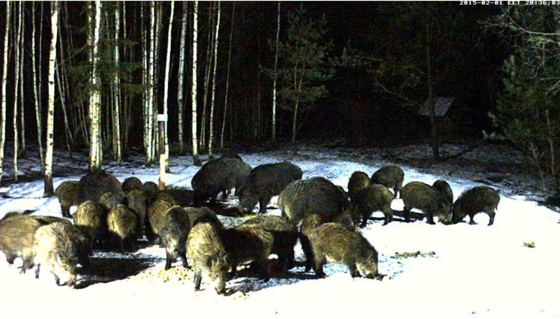 Boar cam Winter 2014-2015 - Page 6 2015-049