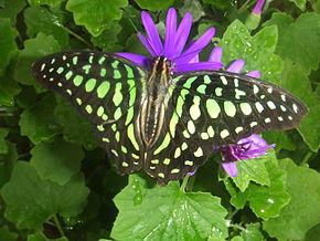 le papillon de Martin du 10 février trouvé par Gin-to 290px-10