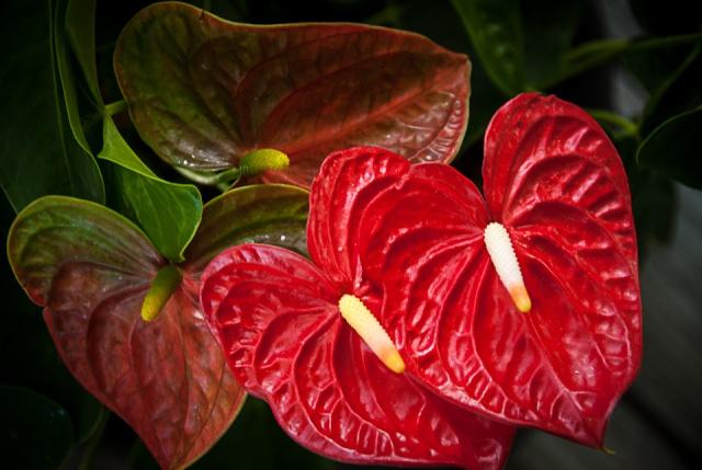 Thế giới các loài hoa Anthur10