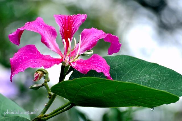 Thế giới các loài hoa Bauhin11