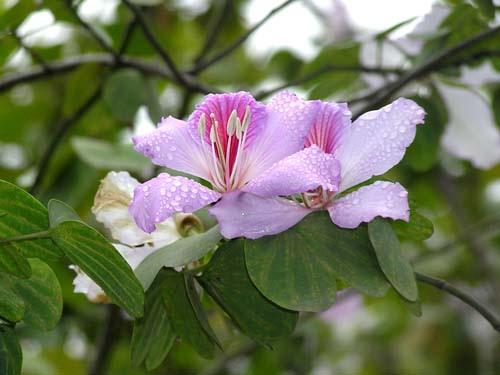 Thế giới các loài hoa Caymon10