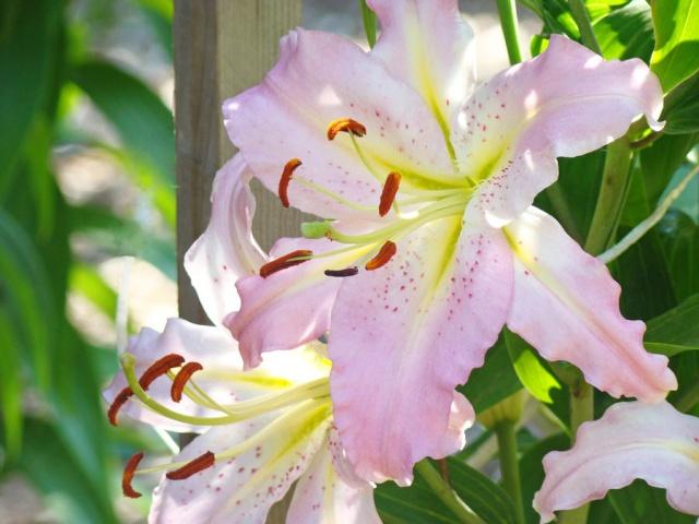 Thế giới các loài hoa Lily-f11
