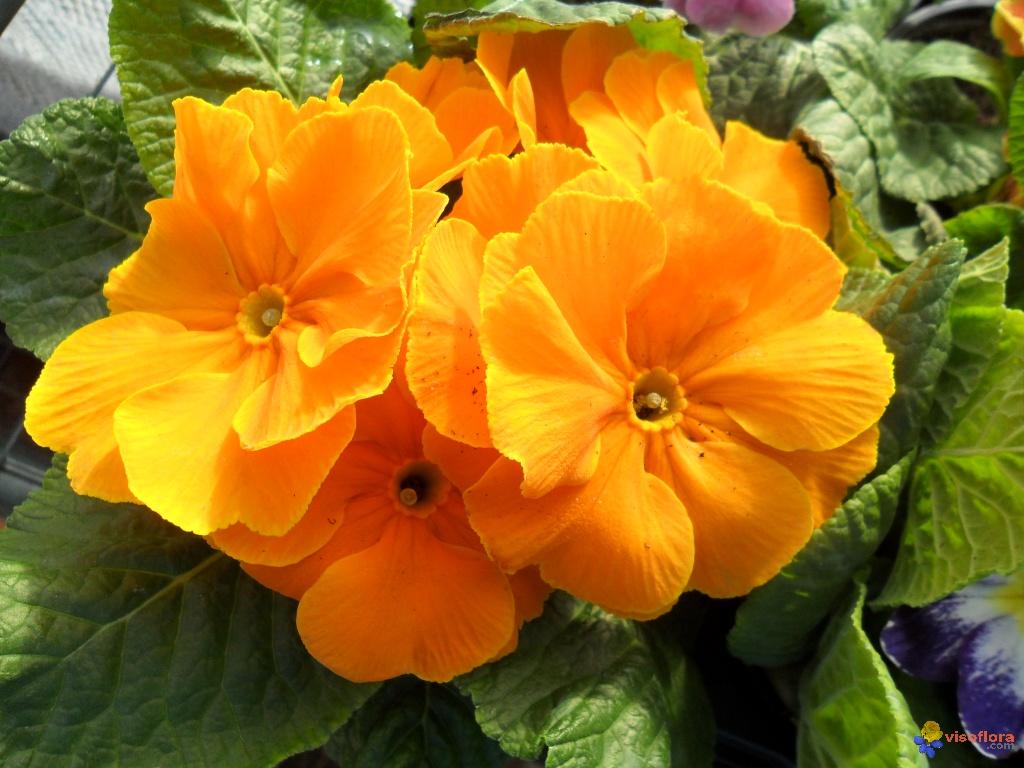 Thế giới các loài hoa Primev10