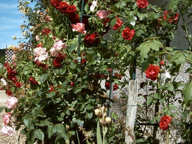 mon arche de rosier en 2014 Harche10