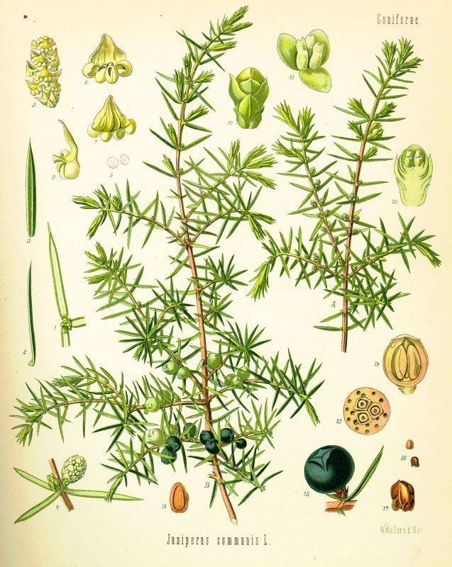 Genévrier commun, Juniperus communis Genevr10